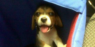 Lukas beagle de Guatemala