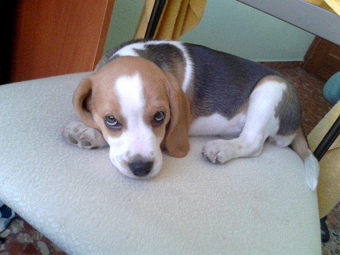 Pyme-perrita-beagle-echada-silla
