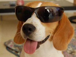 Luna-perra-beagle-con-gafas