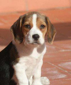 Luna-perrita-beagle-Reus