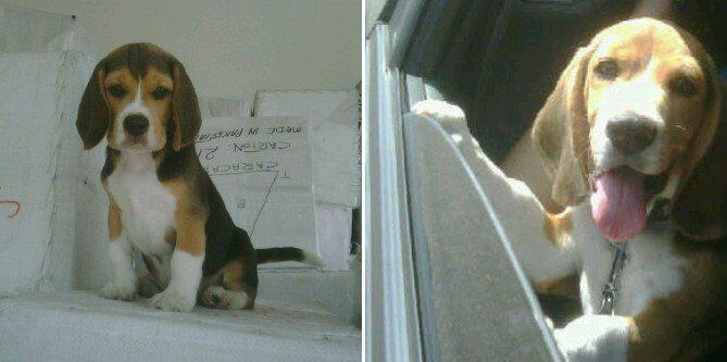 Spyke-beagle-Venezuela