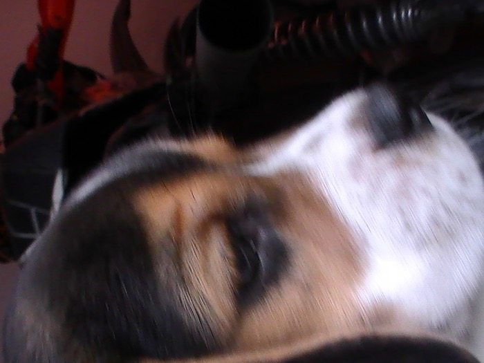 Andina-perrita-beagle-hocico