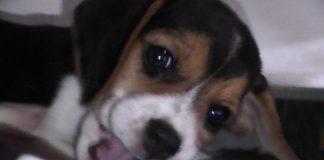 Andina-perrita-beagle-mordisquea