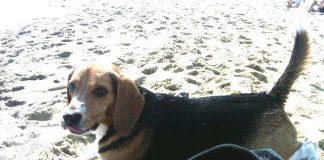 Beagle-Peke-Barcelona-playa