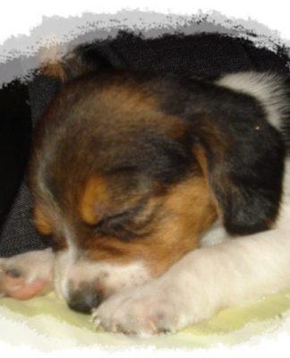 Cachorrita de beagle Sofi dormida