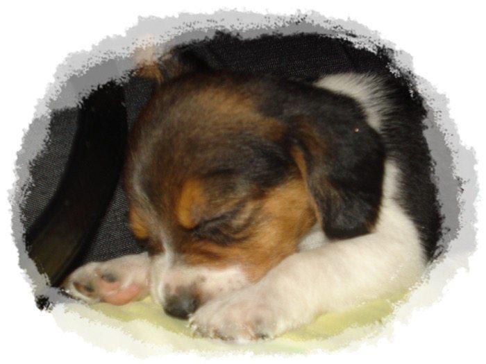 beagle cachorro Sofi dormidita