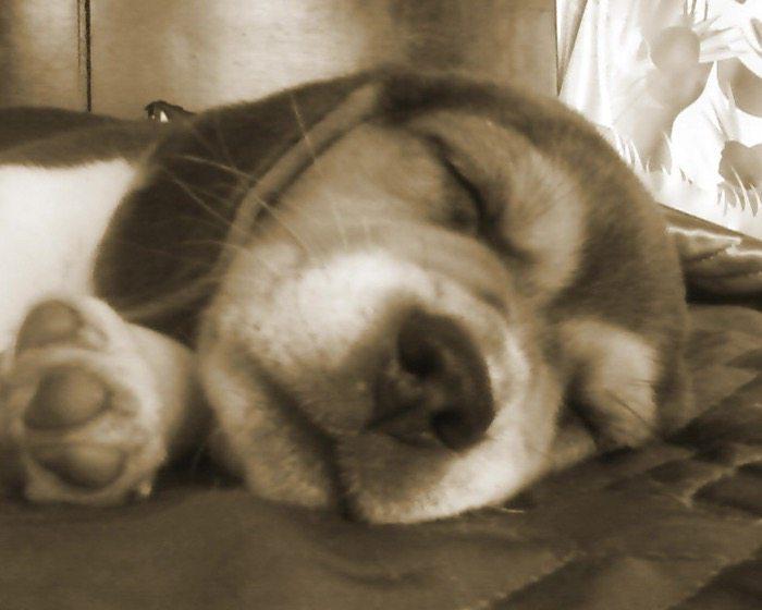Dulce-cachorrita-beagle-dormida