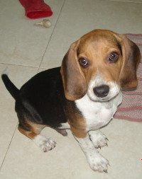 cachorro-beagle-Whisky