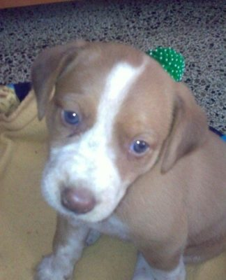 MIA-cachorrita-beagle-galgo-2