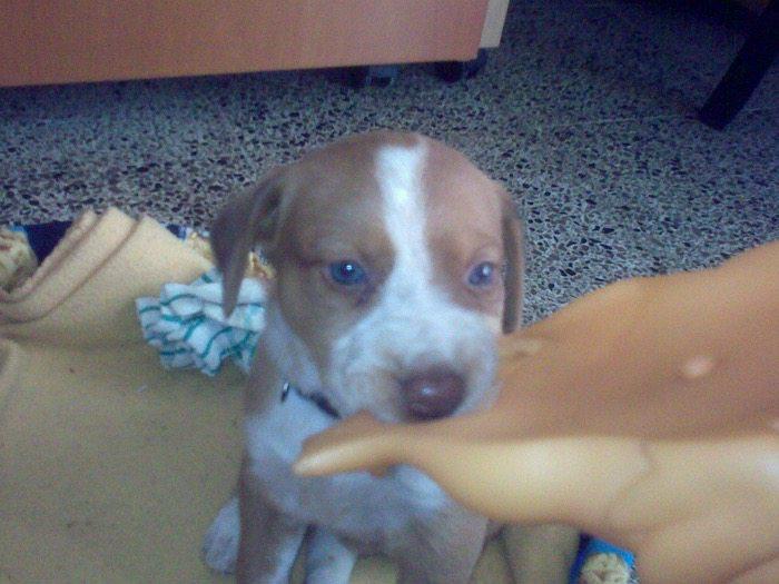 MIA-cachorrita-beagle-galgo-3