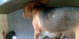 beagle-Wanda-y-cachorros