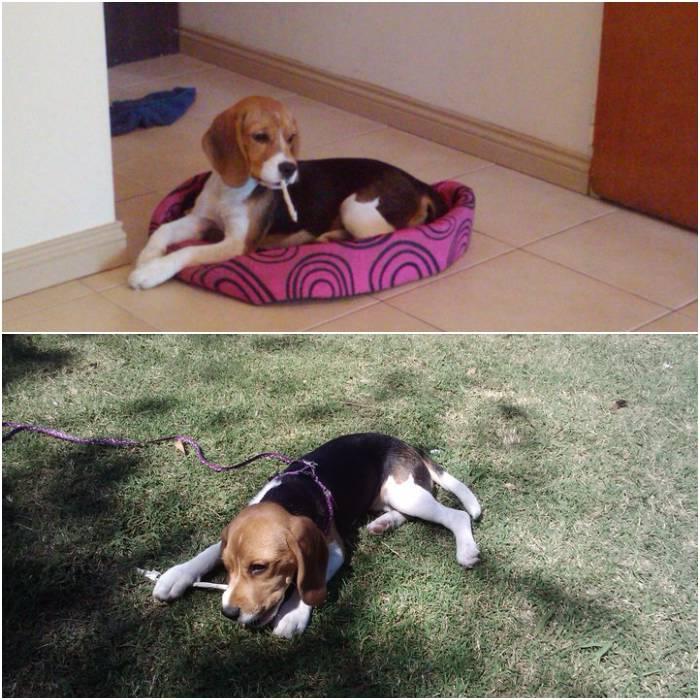 beagle-Reggina-jugando-palito
