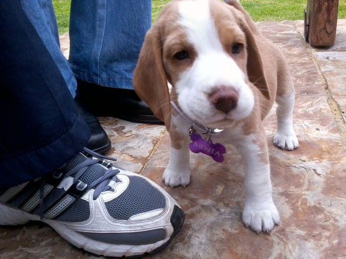 cachorrita-Menta-Bogota