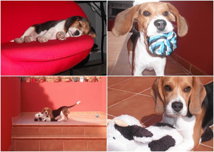 educar a un cachorro de beagle Golfi-Tenerife