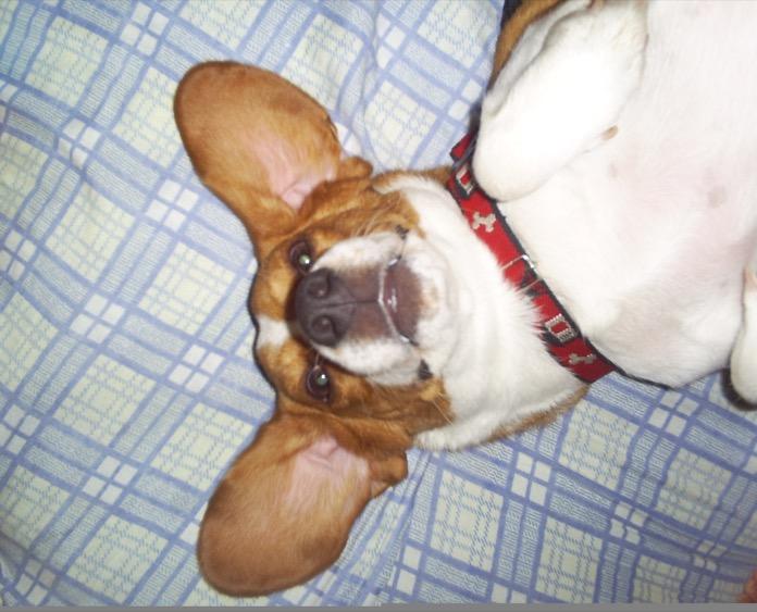 beagle-Bruno-Colombia