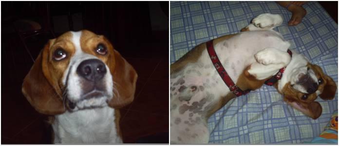 Bruno, beagle de Colombia posando