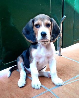 Theo cachorro de beagle Sevilla