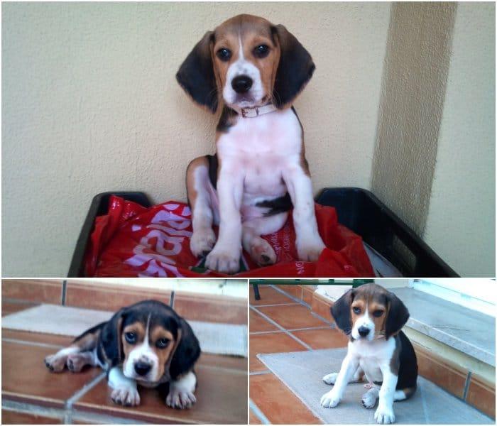 Theo, un cachorro de la raza beagle