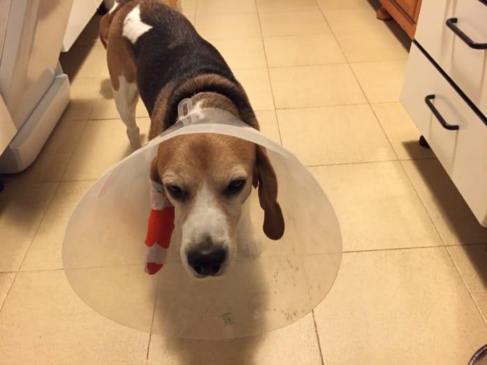 beagle con campana protectora