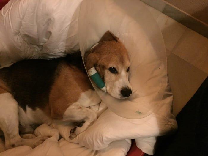 beagle enfermo otohematoma canino