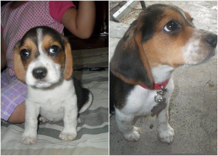 Toby beagles y niños