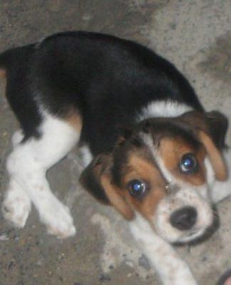 Toby cachorro beagle