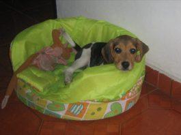 fotos de beagles-Kiara-Colombia