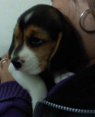 perrita beagle Rubi
