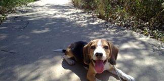 Balto 4 meses-cansado de pasear educar un cachorro