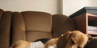 Dexter perro beagle para monta