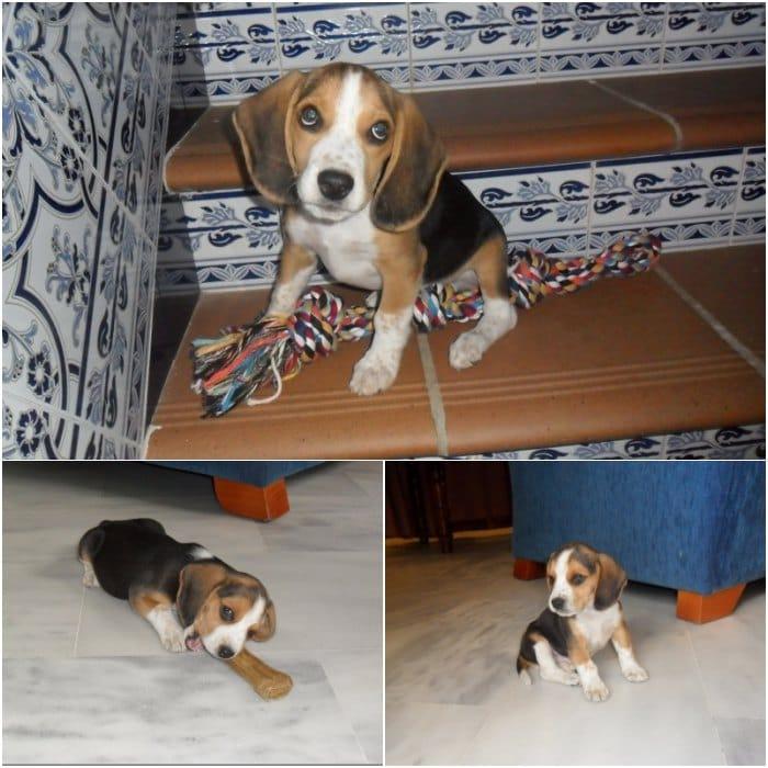 educar un cachorro Balto Con 3 meses