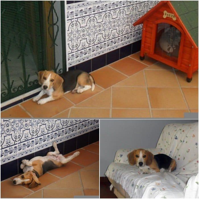 educar un cachorro llamado Balto - 6 meses