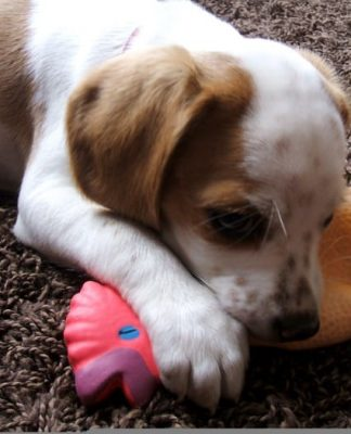 Luna beagle mezcla con su juguete