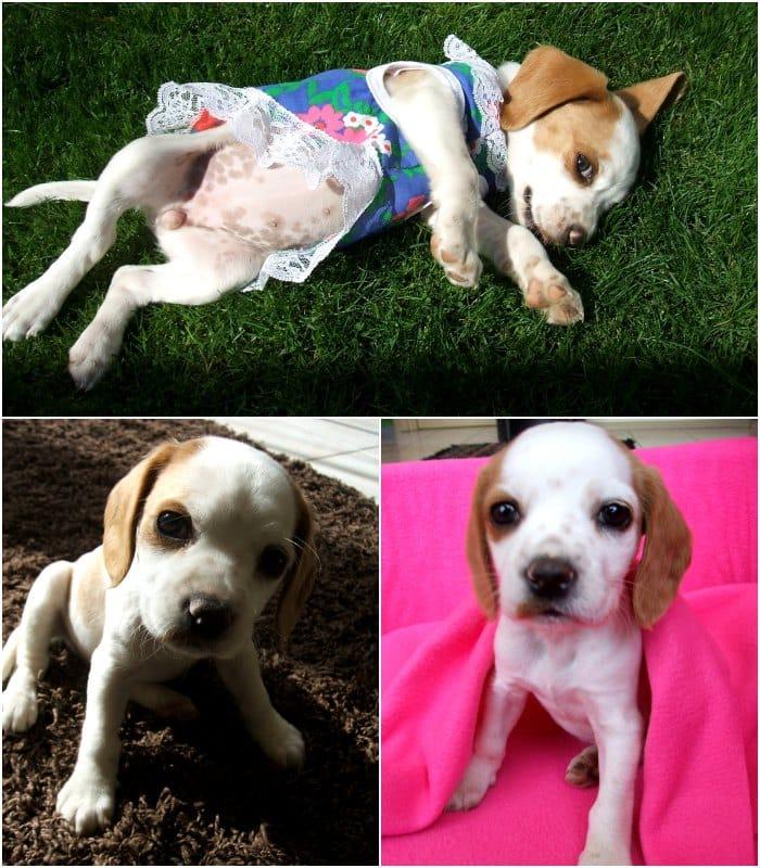 beagle Luna con ropa
