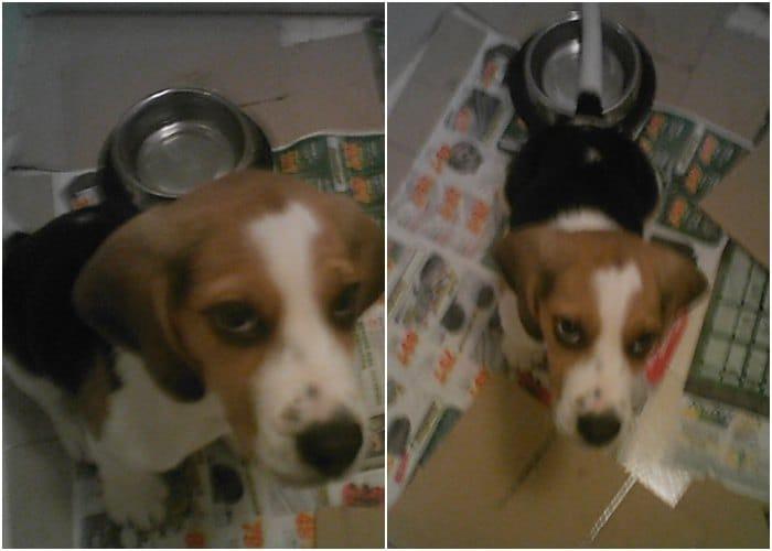 Maxi cachorro beagle