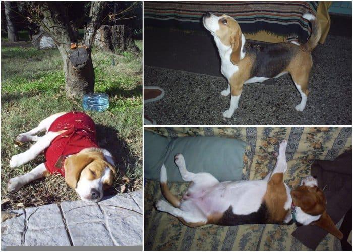 Aura perrita beagle Argentina