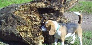 Aura perrita beagle tricolor