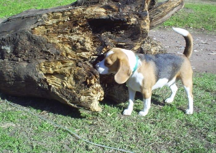 Aura perrita de beagle tricolor