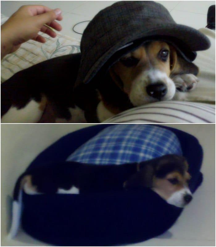 cachorro beagle con sombrero