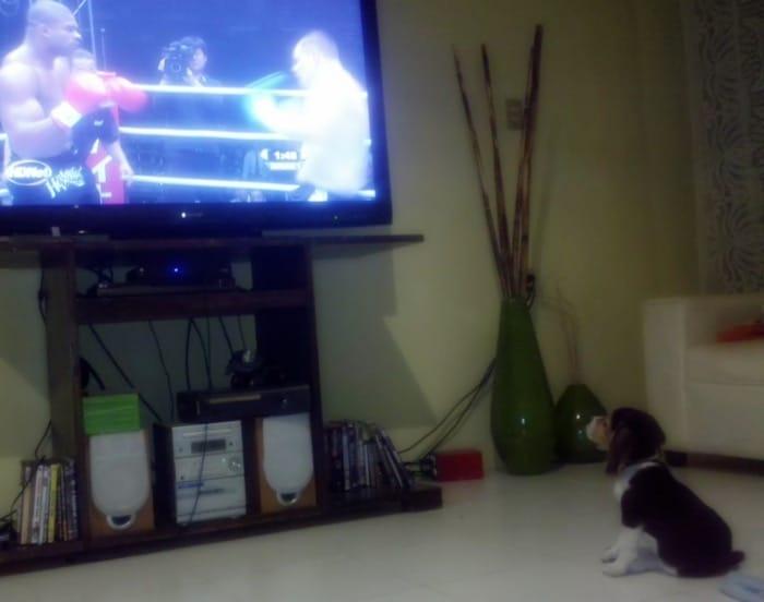 cachorro beagle viendo la tele
