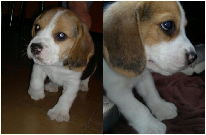 cachorro-de-beagle-lorenzo-montevideo