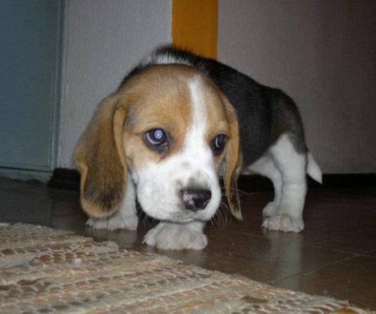 cachorro-de-beagle-lorenzo-uruguay
