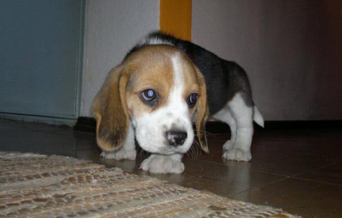 cachorro de beagle lorenzo uruguay