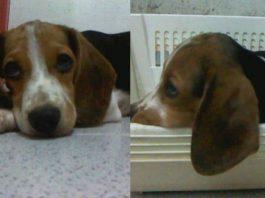 cachorro-de-beagle-winter-colombia