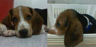 cachorro-de-beagle-winter-colombia