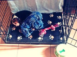 educando a un cachorro beagle-sydney