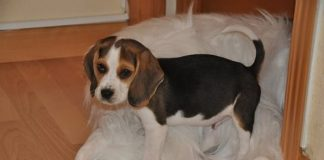 athos-cachorro-beagle-tricolor