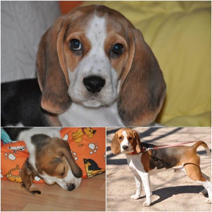 athos-perro-beagle-travieso