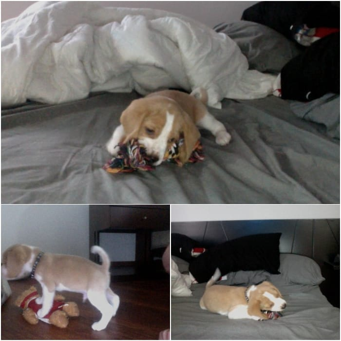 beagle-limon-zippo-colombia