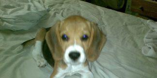 martina beagle de ecuador